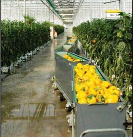 wanted-greenhouse-pepper-harvesting-bins